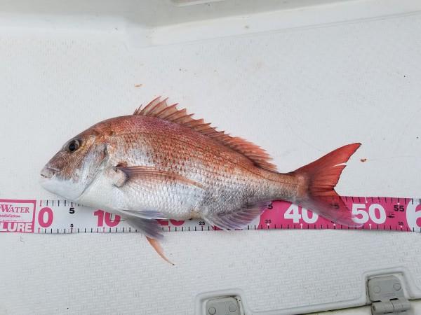 真鯛49cm